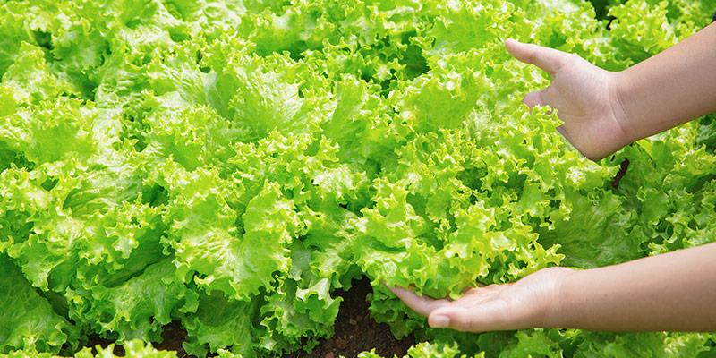 campo-coltivato-lattuga